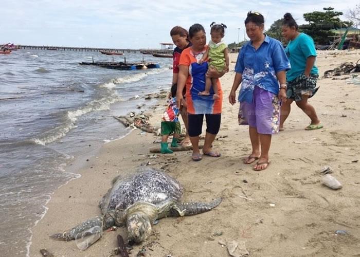 死亡的绿海龟属于濒临绝种的品种。