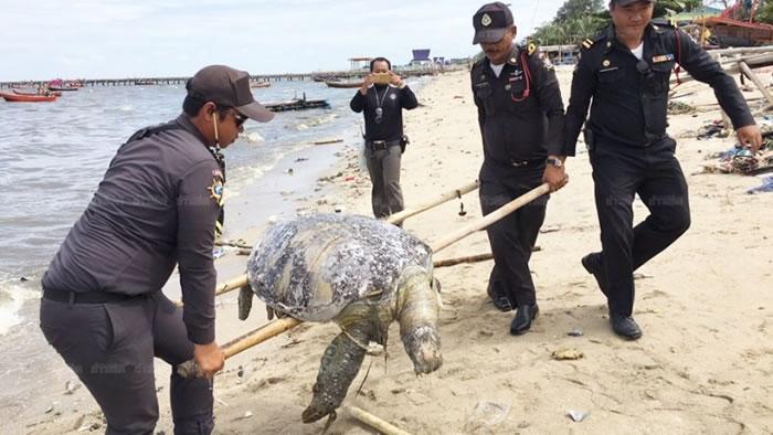 绿海龟尸体将要接受更详细的检验