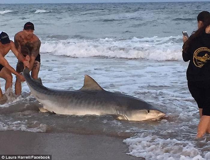 美国北卡罗莱纳州海洋生物专家团队在沙滩上徒手捕捉长达11呎虎鲨