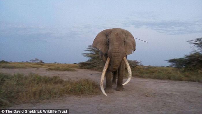 非洲肯尼亚47岁老象头插长矛忍痛到动保团体营地求救