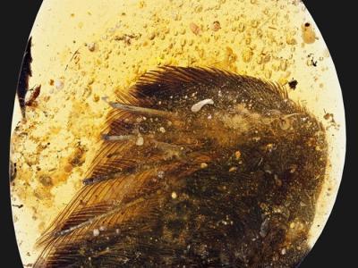 近一亿年前的琥珀封存恐龙时代鸟翼
