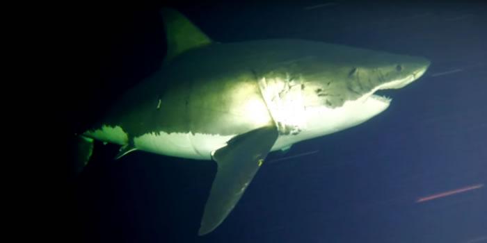 瓜达卢普岛海域最新视频首次记录大白鲨如何睡觉