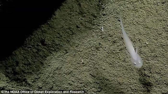 """马里亚纳海沟2500公尺深海发现透明裸鼬鱼科""""鬼鱼"""""""