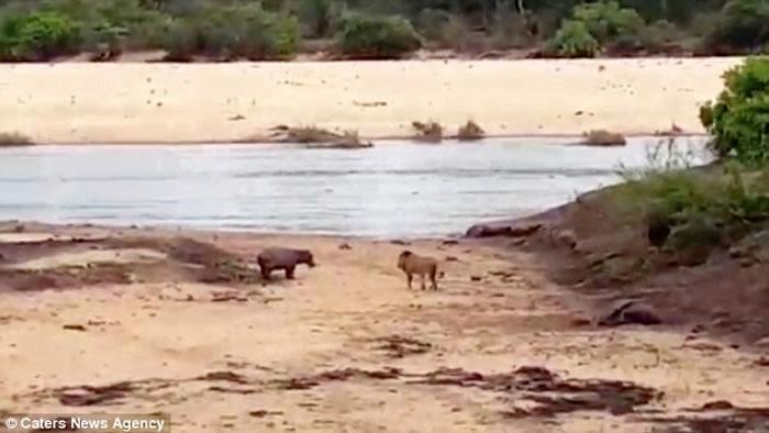 南非母河马体力不支倒河岸边狮王觊觎 小河马挺身保护赶走敌人