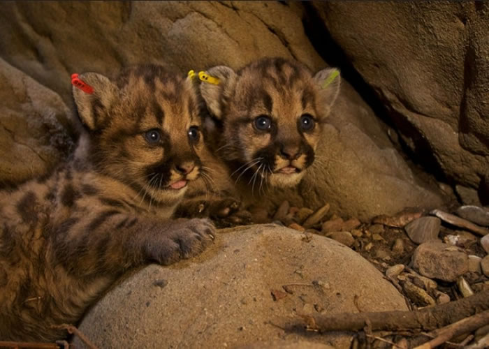 美国加州圣莫尼卡山脉发现5只刚出生的同父异母山狮幼崽