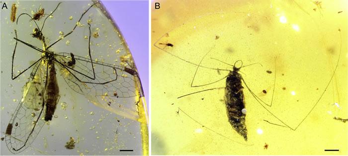 蜘蛛终结者:1亿年前缅甸琥珀中的化石显示草蛉幼虫进化出特殊机能