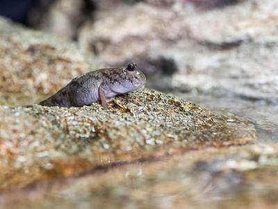 早期脊椎动物从水中登陆时 尾巴可能起着关键作用