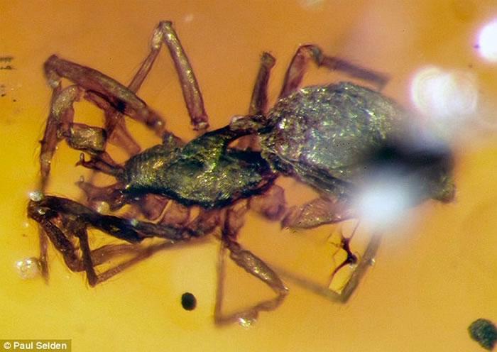 9900万年前白垩纪晚期,两只蜘蛛打斗在一起却最终被树脂包裹起来,最终形成保存至今的琥珀。