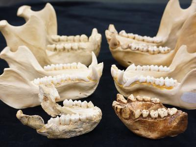灵长类牙齿进化与气候变化