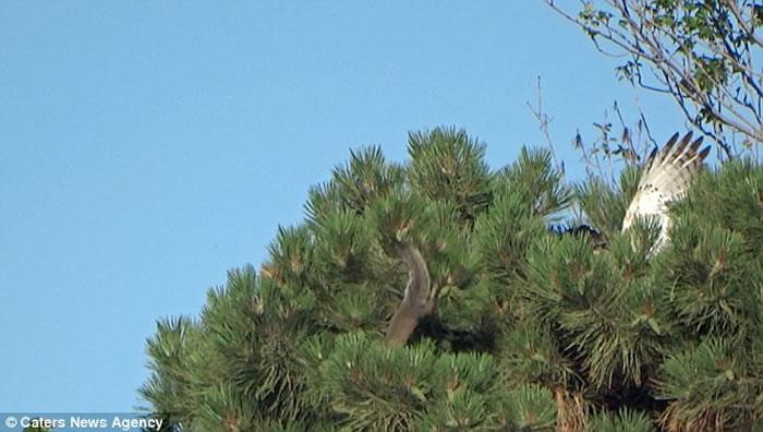 美国新泽西林肯公园松鼠强力弹跳躲避老鹰保命