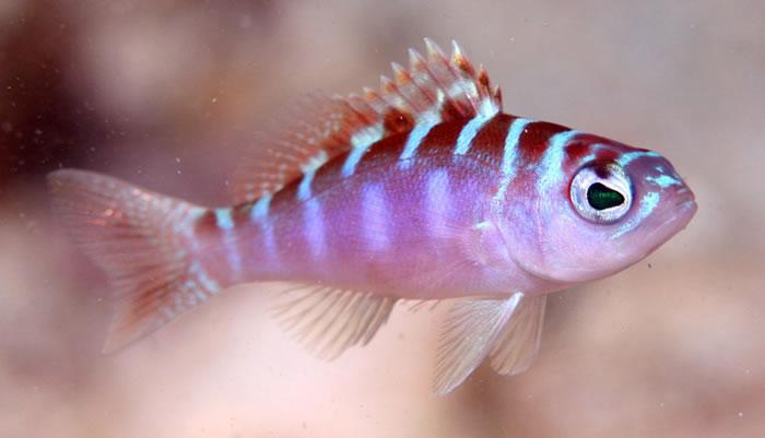 """生活在珊瑚礁的神奇小鱼""""垩鮨""""每天和伴侣互换性别达20次"""