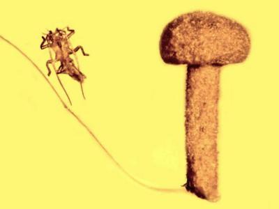 北欧波罗的海全球首现5000万年历史蘑菇琥珀