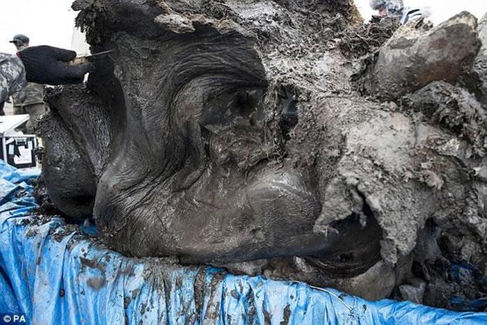 """虽然科学家认为""""毛毛""""是在陷入泥塘之后、被其它动物吃掉的,但它的大部分身体、三条腿、头部和鼻子都完好无损。"""