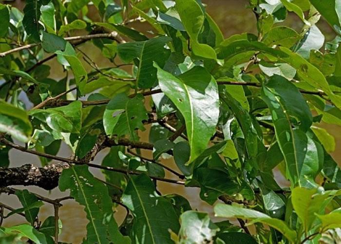 神级隐身术:印度苔藓蛙完美藏身树叶