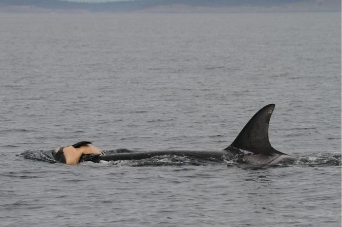 有七种海洋哺乳动物曾被目睹依偎着死去的同类