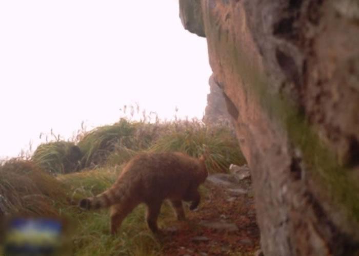 红外线摄录机拍到荒漠猫出没的画面,是当地首次出现该物种。