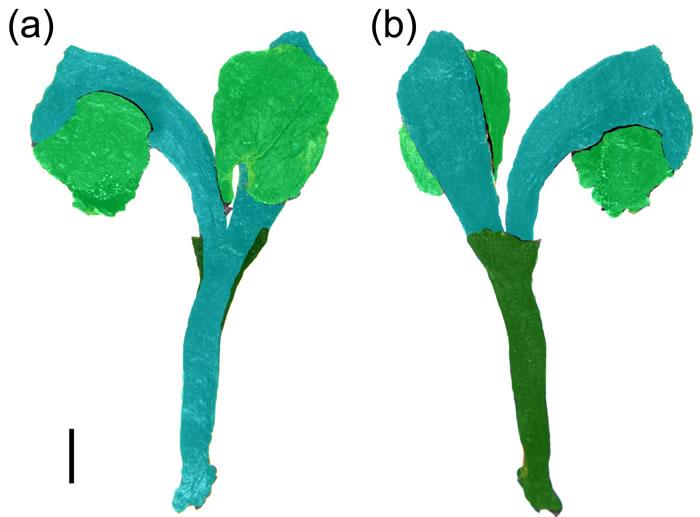 Umkomasia mongolica胚珠器官,绿色示叶性器官,蓝色示枝性器官