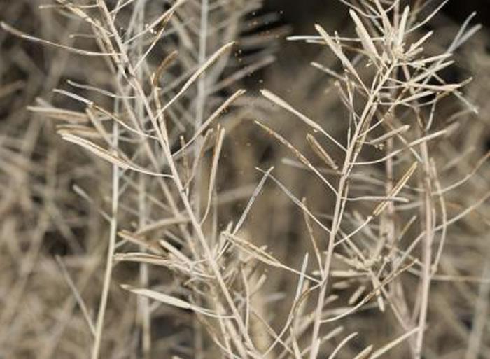 掉落的拟南芥种子