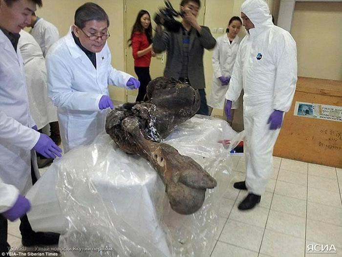 图中是黄禹锡教授和科学家小组正在提取猛犸DNA。