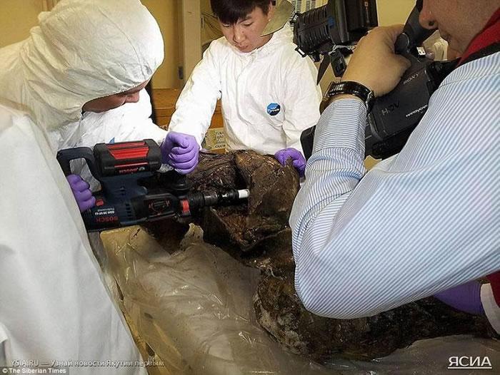 图中一支科学家小组正在从猛犸尸体上提取基因物质。
