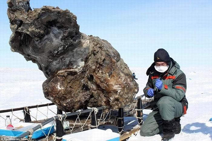 图中是西伯利亚发现的猛犸尸体残骸。