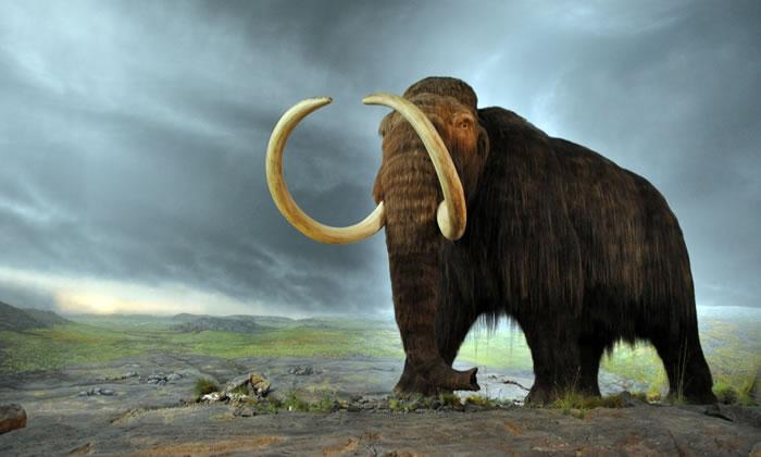 最后的猛犸象5600年前因环境变迁灭绝 白令海孤岛发现它们的残骸