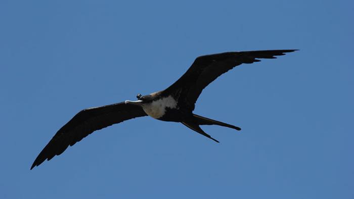 德国研究显示军舰鸟能边飞边睡 可连飞2个月都不落地