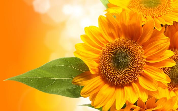 向日葵幼株为何会随着太阳转动