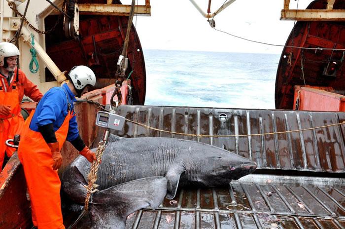 科考船Pâmiut在格陵兰西南捕捉到一头作为副渔获物的格陵兰鲨。