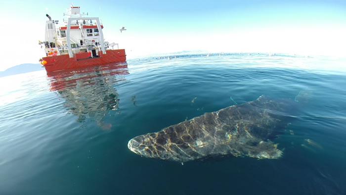 地球上最长寿的脊椎动物 北极小头睡鲨可活400年
