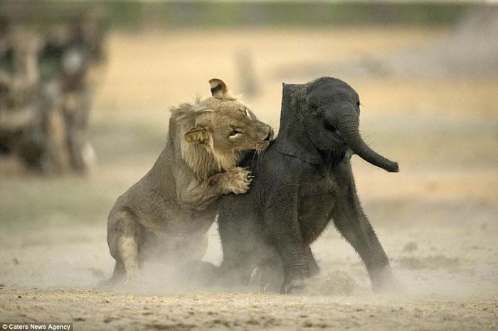 """""""百兽之王""""尽显猎食基因:津巴布韦幼狮速擒小象当大餐"""
