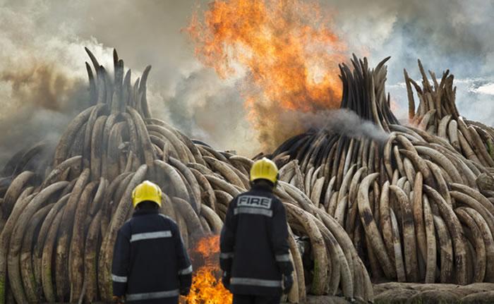 肯尼亚焚烧象牙、犀角等野生动物制品,目的是要遏阻屠杀大象和犀牛的盗猎行径。