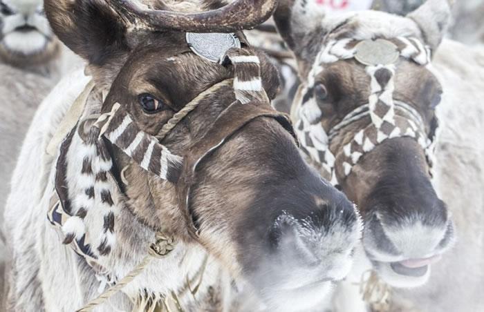 驯鹿是雅库特原住民的重要资产。  原住民制作不同工具,对抗狼袭。