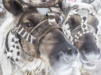 俄罗斯西伯利亚冰雪地上演人狼大战 原住民为保护驯鹿反击野狼