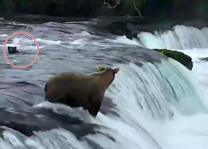 美国阿拉斯加卡特迈国家公园棕熊勇救3只被瀑布冲走的小熊