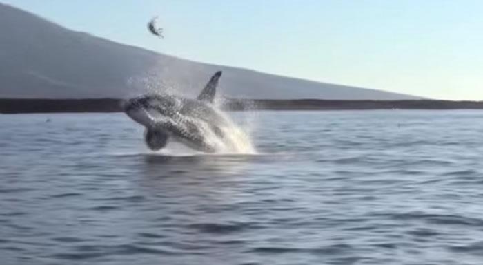 厄瓜多尔加拉巴哥群岛虎鲸把海龟抛向空中 玩几分钟后才吃下肚
