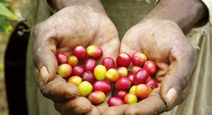 越南为咖啡原豆出产量全球第二大国。