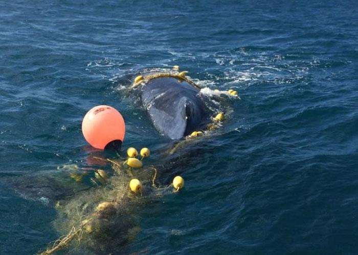 澳洲黄金海岸年幼座头鲸被困防鲨网