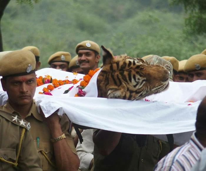 """曾打赢四米巨鳄的印度""""最强母老虎""""Machli去世"""