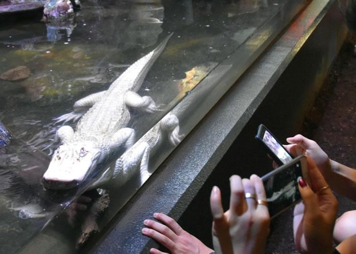 日本静冈县河津町动物园展出极为罕见的白化短吻鳄