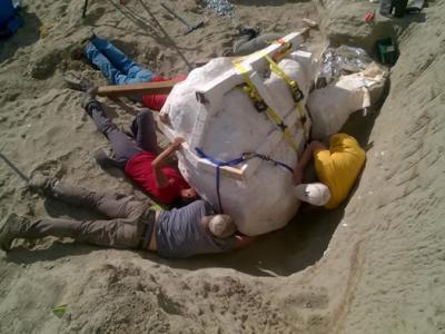 美国蒙大拿州发现重要的雷克斯霸王龙化石
