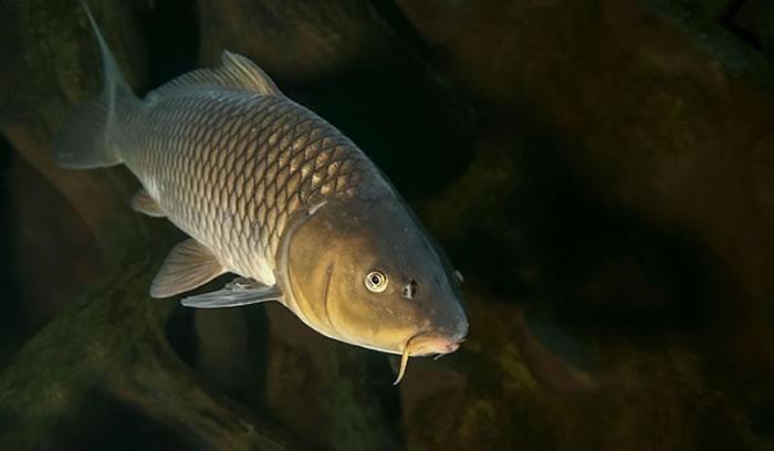 """鲤鱼正""""逆向进化""""以重生鳞片"""