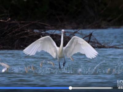 棕颈鹭捕鱼的方式就像在跳舞