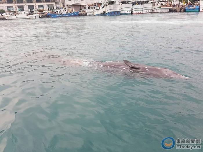 罕见保育类柏氏中喙鲸疑迷途误闯命丧台东富冈渔港