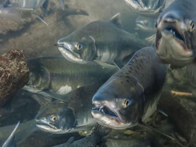 11500年前美洲人类已在食用三文鱼 阿拉斯加考古遗址发现鲑鱼骨头