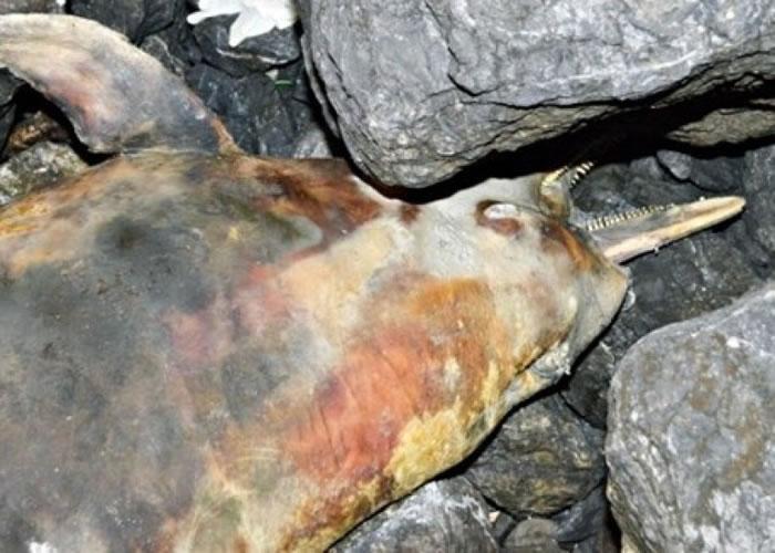 中华白海豚搁浅马来西亚海岸 尸体变黑死状恐怖