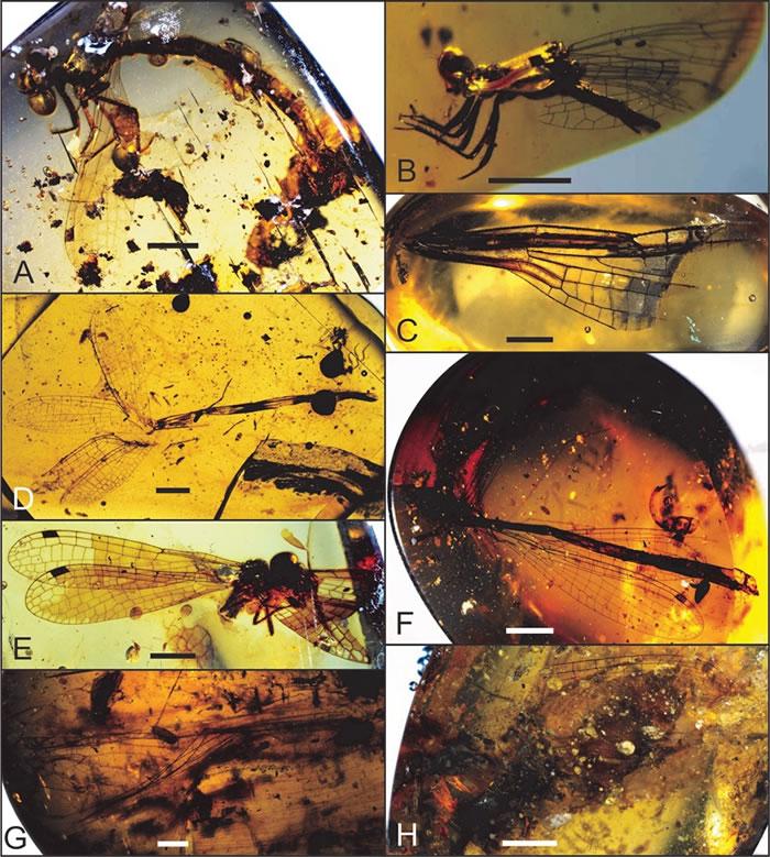 缅甸琥珀中蜻蜓目化石,比例尺 = 2 mm