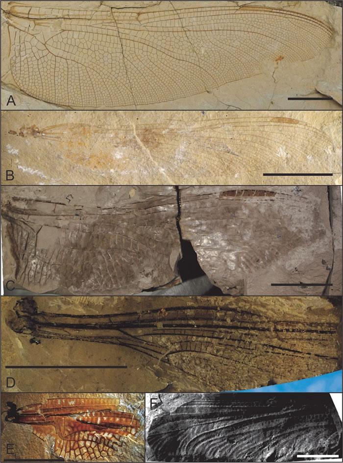 中国北方中生代蜻蜓总目化石,比例尺 = 10 mm