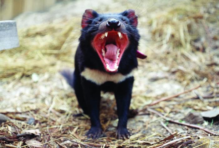 凶猛的袋獾正在被癌症打败