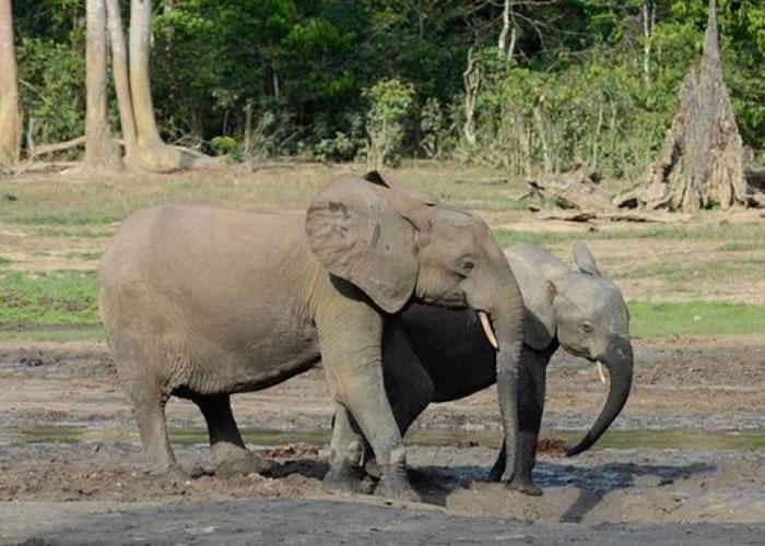非洲森林大象数量大幅减低。